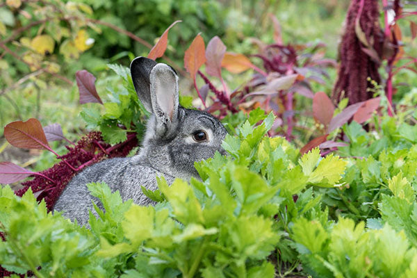 Bunny in Vegetable Patch