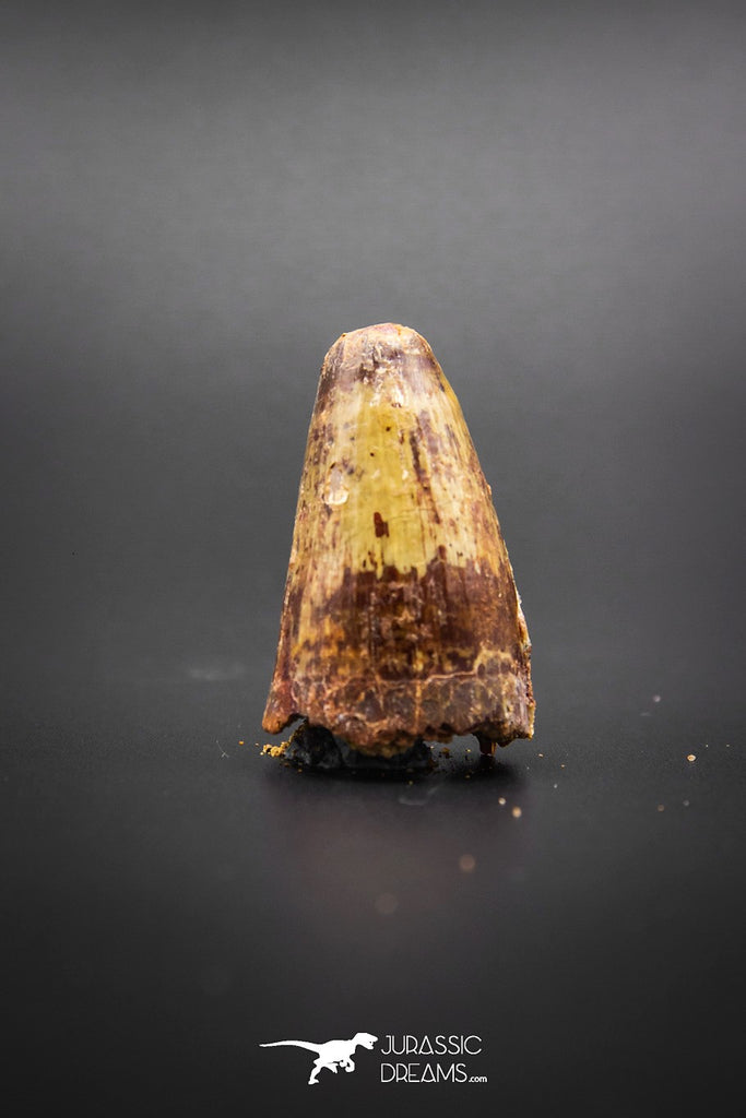 02041 - Huge Beautiful 1.41 Inch Elosuchus Cherifiensis Crocodile Tooth From Kem Kem