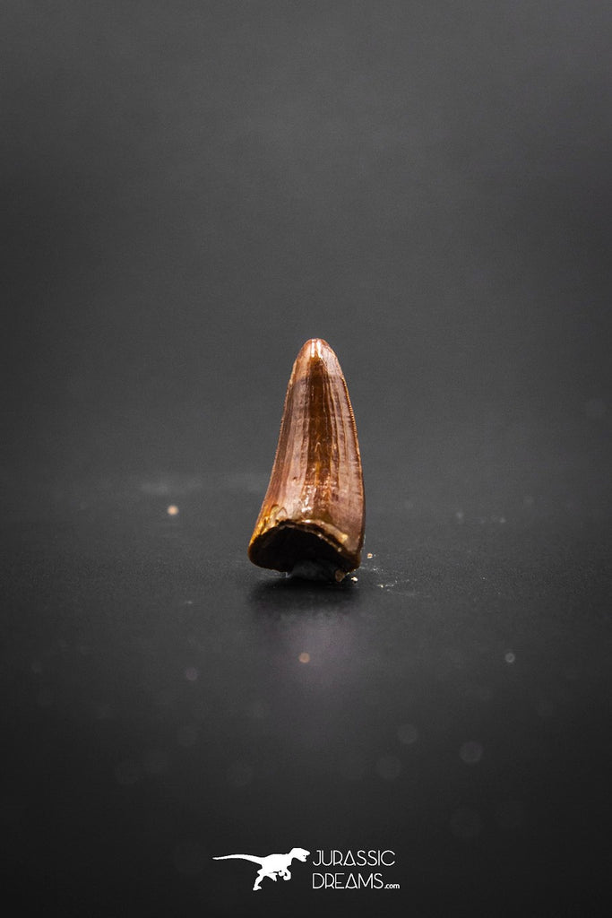02045 - Nicely Preserved 0.78 Inch Elosuchus Cherifiensis Crocodile Tooth From Kem Kem