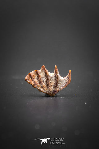 02047 - Rare Ceratodus humei Tooth From Kem Kem Basin