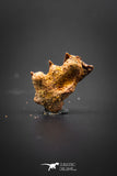 02048 - Beautiful Well Preserved Ceratodus humei Tooth From Kem Kem Basin