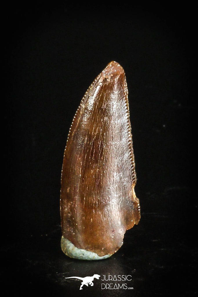 88738 - Top Quality 0.88 Inch Abelisaur Serrated Dinosaur Tooth Cretaceous KemKem