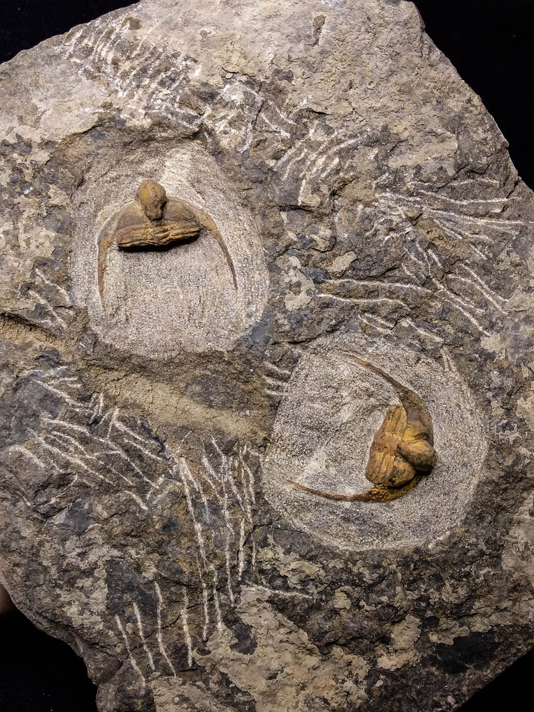 08824 - Beautiful 2 ONNIA SP Mass Mortality Plate Ordovician Ktaoua Fm Trilobites
