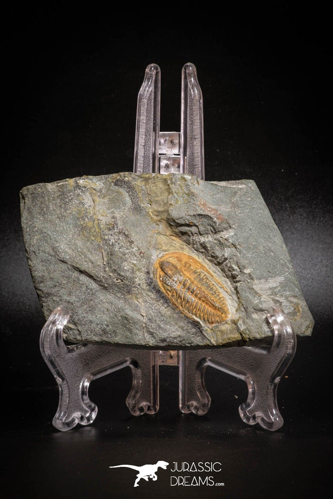 77011- Nicely Preserved HAMATOLENUS SP Middle Cambrian Trilobite Assemmam Outcrops
