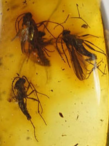 01026 - Top Quality 0.51 Inch Baltic Amber With a Triple Inclusion Of Fossil Insects (Diptera - Sciaridae Fly) + 1 Unidentified Insect