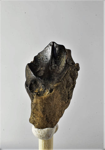 01038 - Partial Shed 0.65 Inch Triceratops horridus Dinosaur Tooth