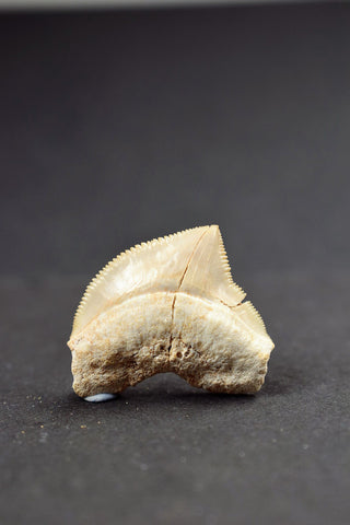 00657 - Beautiful White 1.09 Inch Squalicorax pristodontus (Crow Shark) Tooth