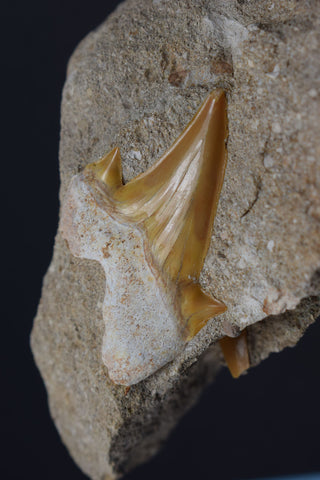 00437 - Beautiful Orange Colored 2.01 Inch Otodus obliquus Shark Tooth in Natural Matrix
