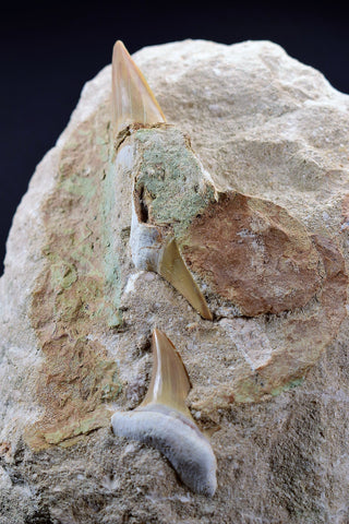 00718 - Top Association of 3 Otodus obliquus Shark Teeth in Natural Matrix