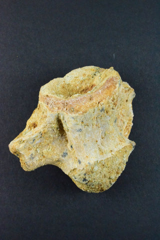 00117 - Rare Well Preserved 2.99 Inch Unidentified Crocodile Vertebra Bone From Kem Kem