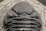 07754 - Top Detailed 2.54 Inch Austerops sp Lower Devonian Trilobite