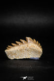 04914 - Collector Grade 1.49 Inch Notidanodon loozi (Cow Shark) Tooth