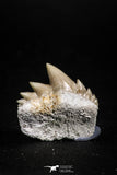 04916 - Top Grade 0.75 Inch Notidanodon loozi (Cow Shark) Tooth