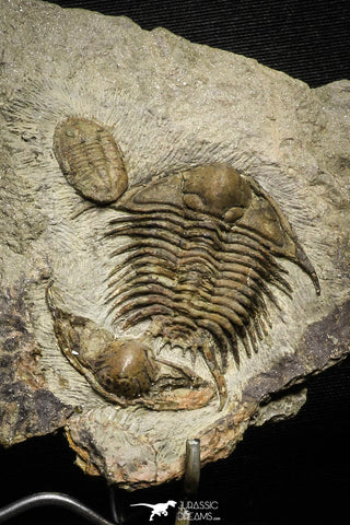 22013 - Top Association Foulonia sp + Asaphid Lower Ordovician Trilobites Fezouata Formation
