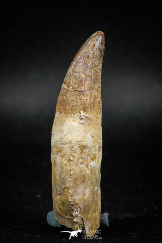 04929 - Rare Rooted 2.40'' Maroccosuchus zennaroi Huge Fully Rooted Tooth