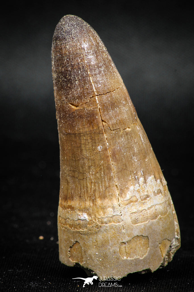 04932 - Top Huge 2.12 Inch Maroccosuchus zennaroi Crocodile Tooth