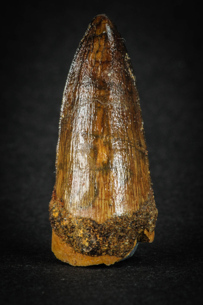 88023 - Well Preserved 1.46 Inch Elosuchus Cherifiensis Crocodile Tooth From KemKem