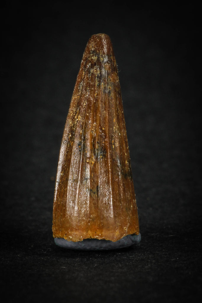 88025 - Well Preserved 0.84 Inch Elosuchus Cherifiensis Crocodile Tooth From KemKem