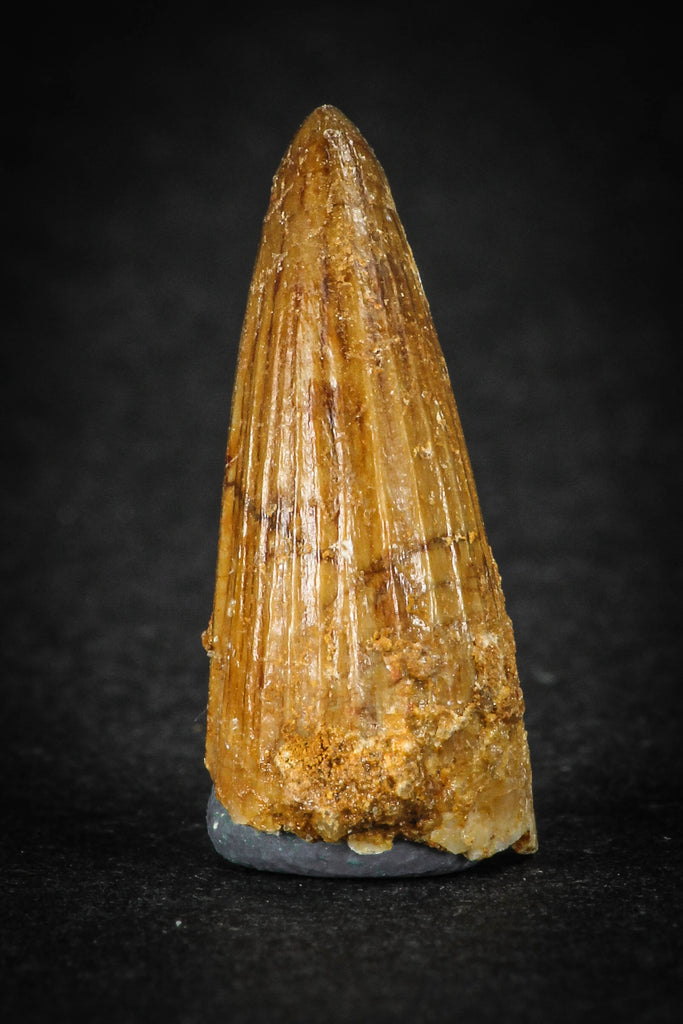 88027 - Well Preserved 0.93 Inch Elosuchus Cherifiensis Crocodile Tooth From KemKem