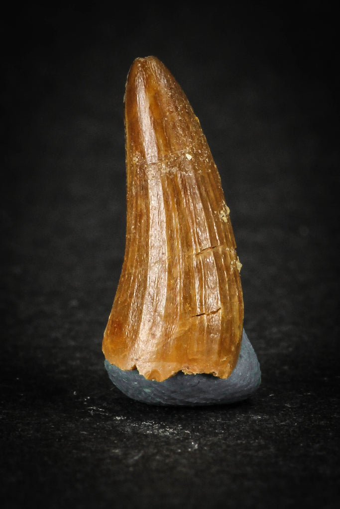 88029 - Well Preserved 0.67 Inch Elosuchus Cherifiensis Crocodile Tooth From KemKem