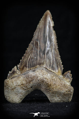 20536 - Strongly Serrated 1.92 Inch Palaeocarcharodon orientalis (Pygmy white Shark) Tooth