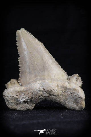 20539 - Strongly Serrated 1.43 Inch Palaeocarcharodon orientalis (Pygmy white Shark) Tooth