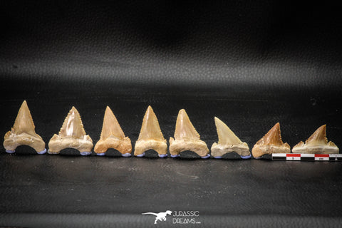 22425 - Collection of 8 Palaeocarcharodon orientalis (Pygmy white Shark) Teeth