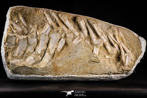 22431 - Collector Grade 14.37 Inch Halisaurus arambourgi (Mosasaur) Partial Tail Late Cretaceous