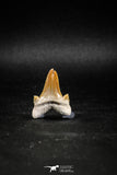 04951 - Super Rare Pathologically Deformed Double Tipped 1.15 Inch Otodus obliquus Shark Tooth