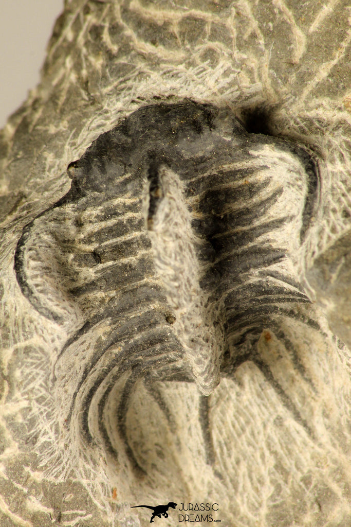 30724 - Partial Prepared 1.18 Inch Spiny Koneprusia dahmani Lower Devonian Trilobite