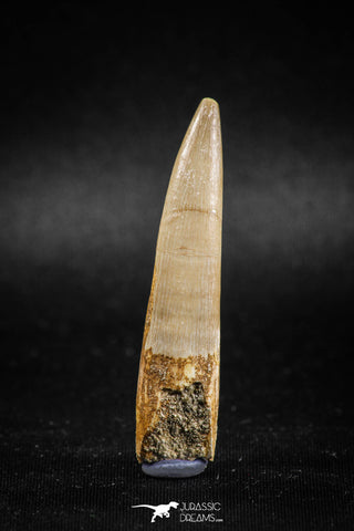 04965 - Nicely Preserved 2.06 Inch Partially Rooted Elasmosaur (Zarafasaura oceanis) Tooth