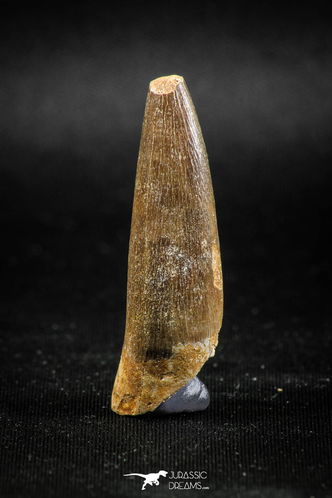 04967 - Nicely Preserved 1.72 Inch Partially Rooted Elasmosaur (Zarafasaura oceanis) Tooth