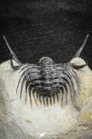22027 - Outstanding 1.89 Inch Kettneraspis prescheri (Long Occipital Horn) Lower Devonian Trilobite