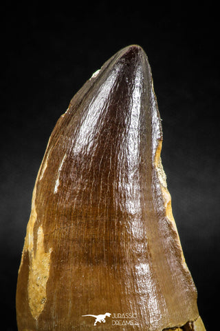 04974 - Premium Quality 2.54 Inch Huge Mosasaur (Prognathodon anceps) Tooth