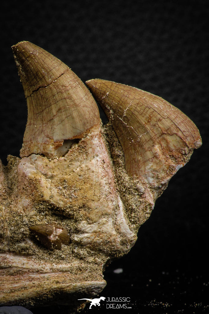 07777 - Top 3.52 Inch Mosasaur (Prognathodon anceps) Partial Jaw (Preserved Replacement Emerging Germ Tooth)