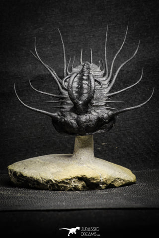 "22029 - Top Quality ""Flying"" 3.06 Inch Dicranurus monstrosus Lower Devonian Trilobite"