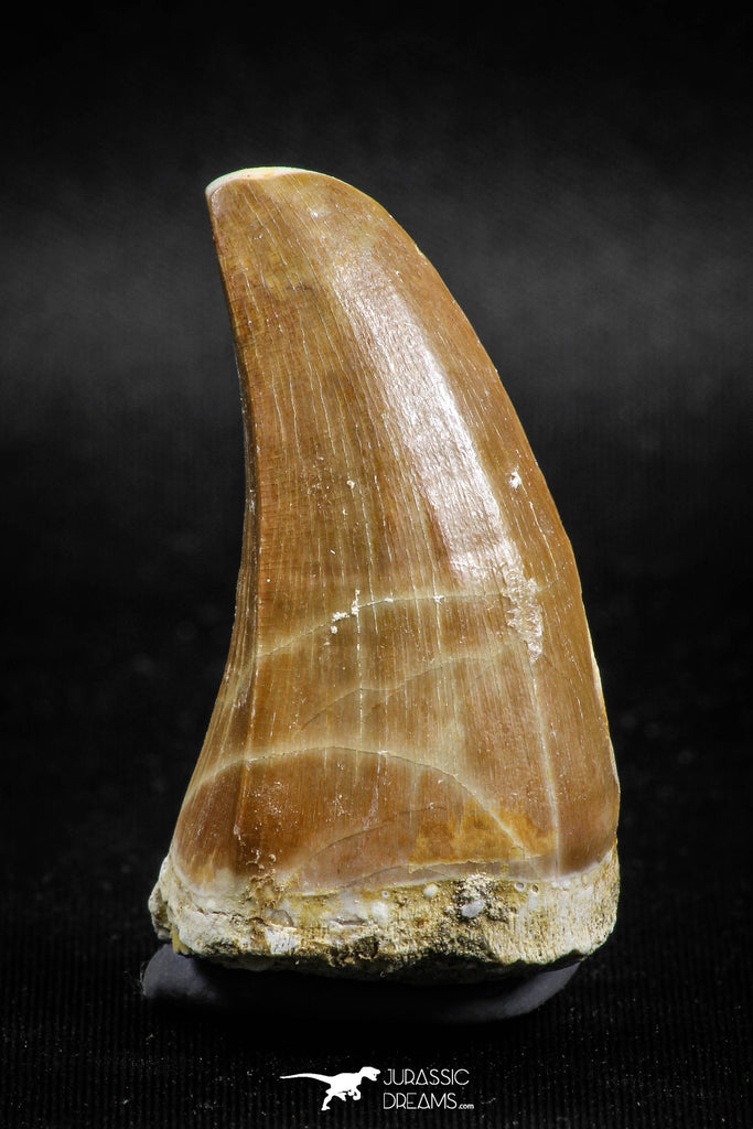 04981 - Top Rare 1.81 Inch Huge Tylosaurus sp (Mosasaur) Tooth Late Cretaceous