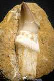 07781 - Top Rare 3.15 Inch Mosasaur (Eremiasaurus heterodontus) Rooted Tooth Pathologically Deformed