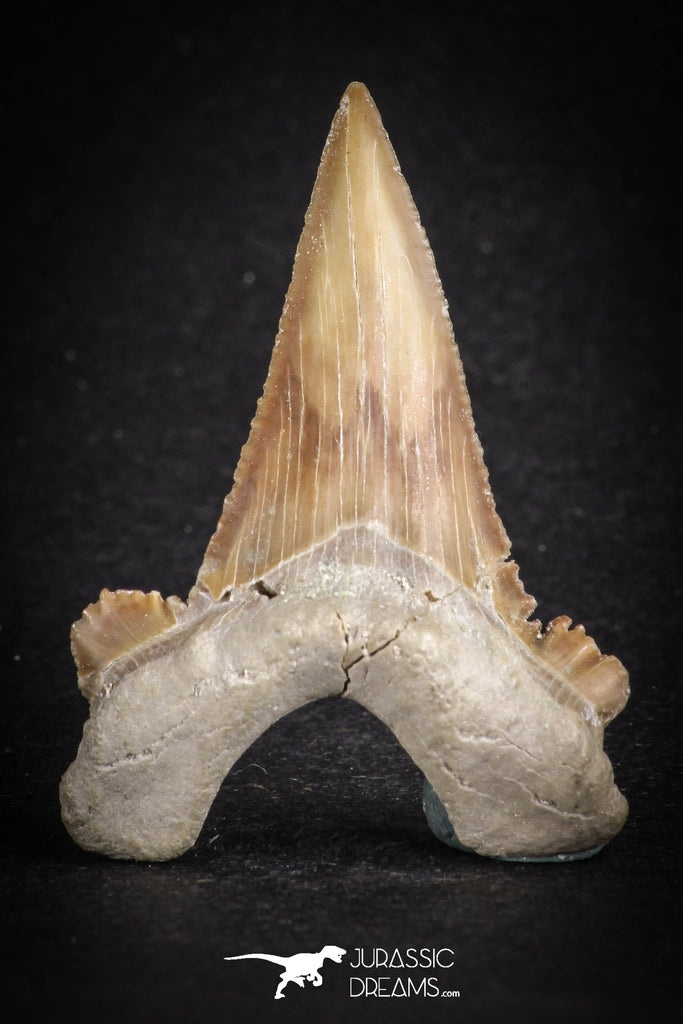 88124 - Strongly Serrated 1.86 Inch Palaeocarcharodon orientalis (Pygmy white Shark) Tooth