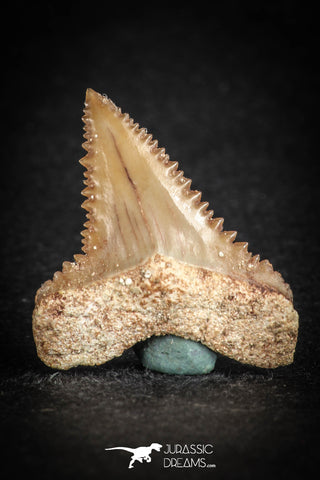 88125 - Strongly Serrated 1.00 Inch Palaeocarcharodon orientalis (Pygmy white Shark) Tooth