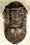 30734 - Top Quality 1.47 Inch Paralejurus spatuliformis Devonian Trilobite