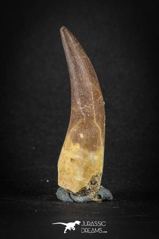 88163 - Top Quality 2.11 Inch Rooted Elasmosaur (Zarafasaura oceanis) Tooth