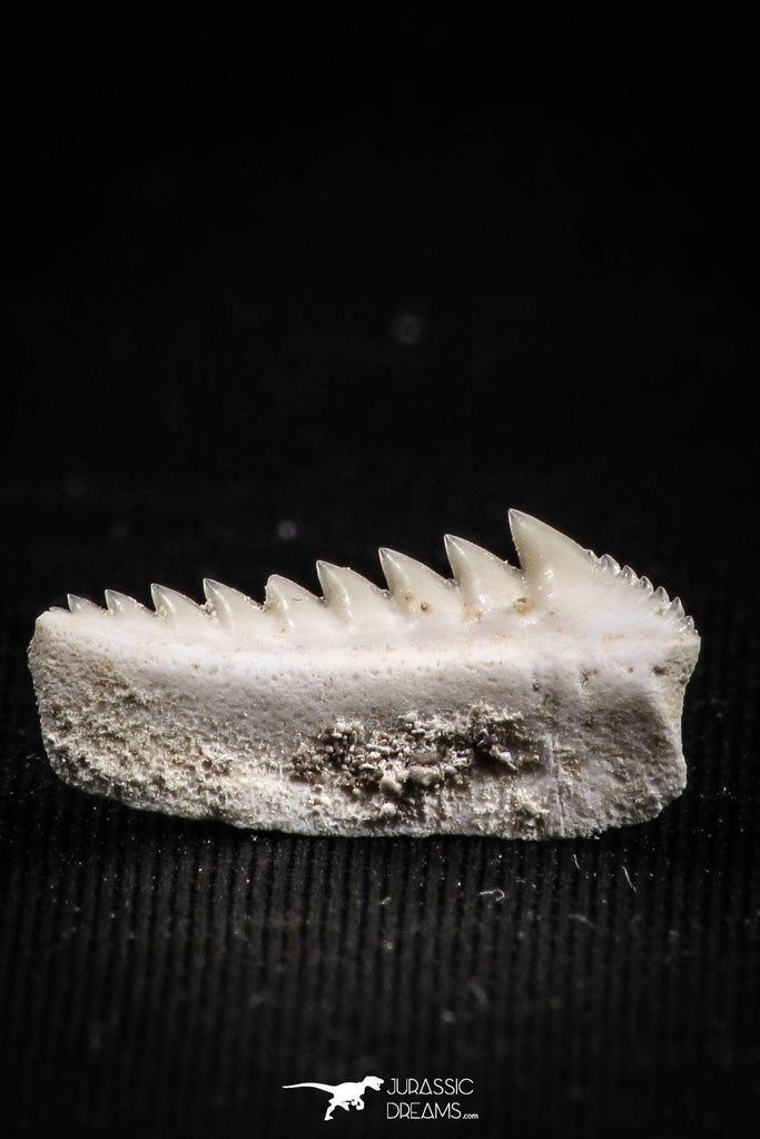 05004 - Beautiful Well Preserved 0.65 Inch Hexanchus microdon Shark Tooth
