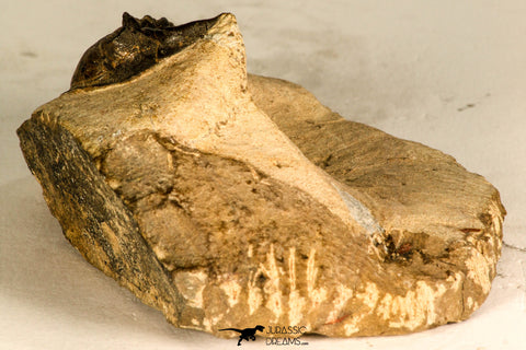 88168 - Top Quality 1.39 Inch Rooted Elasmosaur (Zarafasaura oceanis) Tooth