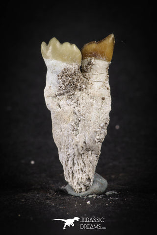 88193 - Top Rare 1.23 Inch Rooted Stephanodus Tooth Cretaceous