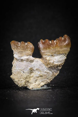 88194 - Top Rare 1.05 Inch Rooted Stephanodus Tooth Cretaceous