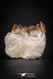88195 - Top Rare 0.97 Inch Rooted Stephanodus Tooth Cretaceous