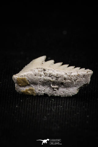 05010 - Beautiful Well Preserved 0.59 Inch Hexanchus microdon Shark Tooth
