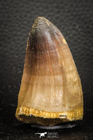07670 - Top Rare 2.21 Inch Huge Prognathodon curii (Mosasaur) Tooth Late Cretaceous