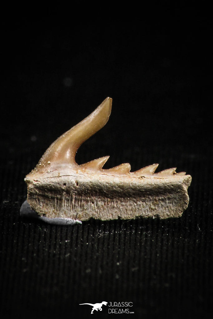 05014 - Beautiful Well Preserved 0.57 Inch Weltonia ancistrodon Shark Tooth